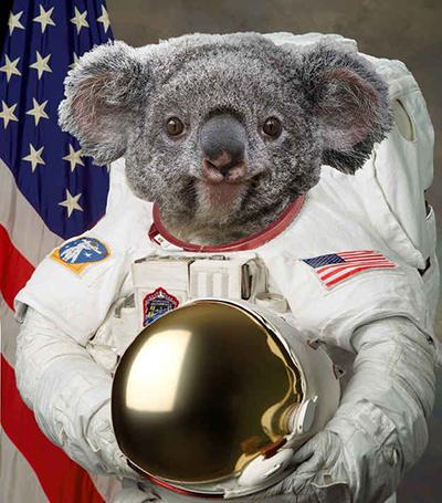 koala-resized